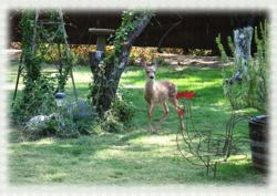 A deer visit A Haven of Rest Bed and Breakfast in Oakhurst, near Yosemite. www.Yosemitethisyear.com