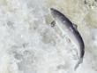 Scientists Confirm Precipitous Decline in Wild Atlantic Salmon Stocks