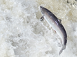 Atlantic Salmon Federation to Host 24th Annual Fundraising Dinner in...