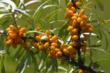 Mont Echo Sea Buckthorn Plant