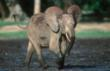 New Hope for Elephants Under Threat in Central Africa