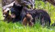 Bears in Yellowstone