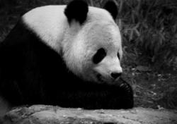 Giant Panda in Captivity