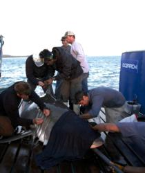 OCEARCH crew and scientists working on great white shark