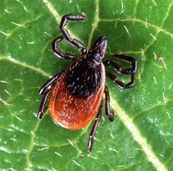 Deer Ticks spread Lyme Disease