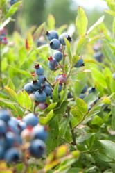 Image of Wild Blueberries