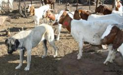 Endangered Wildlife Trust Guard Dog Program protects livestock from predation