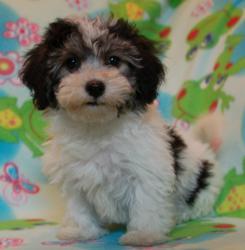 black and white havanese puppy by Royal Flush Havanese