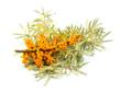 "Sea buckthorn ""Sea Berry"" Fruit"