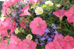 Petunias in summer garden
