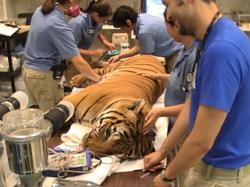 Pandu, a Malayan Tiger, is being prepared for arthroscopic surgery and regenerative cell therapy.