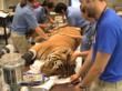 The Houston Zoo prepares Pandu, a Malayan tiger, for arthroscopic surgery and regenerative stem cell therapy.
