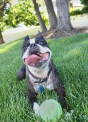 A Boston Terrier with pet insurance relaxes in the grass.