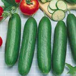 An original Middle-East type of cucumber. Often a parent for the wonderful high-end slicing hybrid cucumbers.