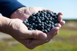 Image of Wild Blueberries in Hands