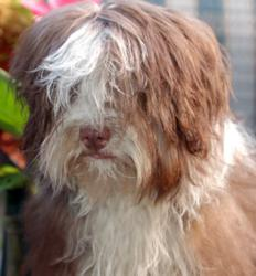 Royal Flush Havanese Housebreaking Tips
