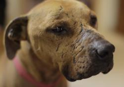 'Lucas', one of the dogs saved from Bad Newz Kennels, owned by Michael Vick