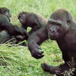 Gorillas At Play