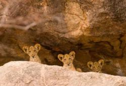 GPS tracking of lions leads researchers to the cubs