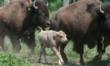 Brookhaven Retreat Celebrates Birth Of Rare White Buffalo