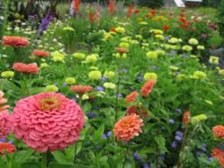 Zinnias in the summer garden