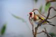 The Gorgeous Goldfinch Arrives at Peak District Online -Another Feathered Friend Fluttering in to Add to the Already Impressive List of Peak District Birds in the New Wildlife Section