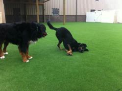 The dogs in DayCare are enjoying the New AstroTurf at Boom Towne!