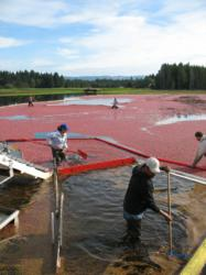 CranMac Farms, Cranberry harvest, Long Beach Peninsula, Southwest Washington, Cranberrian Fair