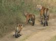 Tiger safari on your India luxury vacation
