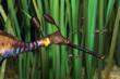 Weedy Sea Dragons Born at Monterey Bay Aquarium; Only 5th Aquarium in...