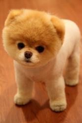 "Boo, the self-proclaimed ""World's Cutest Dog"""