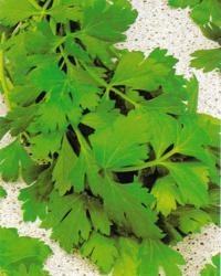 Parsley, Natural herb garden, Natural gardening
