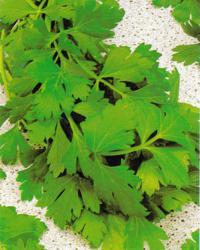 Parsley, Natural herb garden, Natural gardening