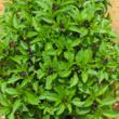 Basil, natural herb garden, natural gardening