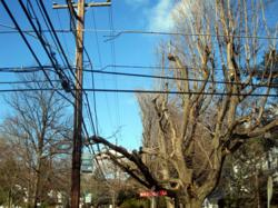 Line clearance often leaves trees deformed.  Alternatives such as tree trimming, tree cabling or tree removal and replanting can preserve the character of a street.