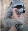 raccoon cured from liver failure