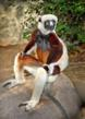 Coquerel's sifaka is an endangered large lemur found in the dwindling forests of Madagascar.
