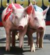 "Nevada's ""Presidential Pig Race 2012"" to Predict..."