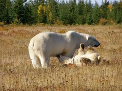 Polar bears. Mother with polar bear cub at Nanuk.