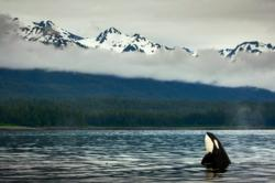 Killerwhale spy hoping point retreat