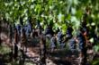 Napa Valley grapes and Napa Valley Grapegrowers are ready for the 2012 harvest.