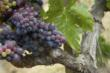 Gorgeous Napa Valley Cabernet grapes.