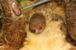 Sleeping baby sloth