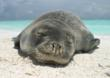 There are only 1,100 Hawaiian monk seals left. They are the most endangered pinniped in the U.S.