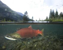 A spawning sockeye salmon moves upstream on the Tongass National Forest