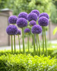 Purple allium gladiator