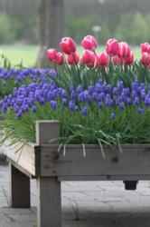raised bed with spring bulbs
