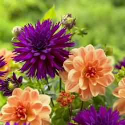 Orange and purple dahlias