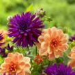 Now is the Time to Choose Trendy Dahlias to Plant This Season Says...