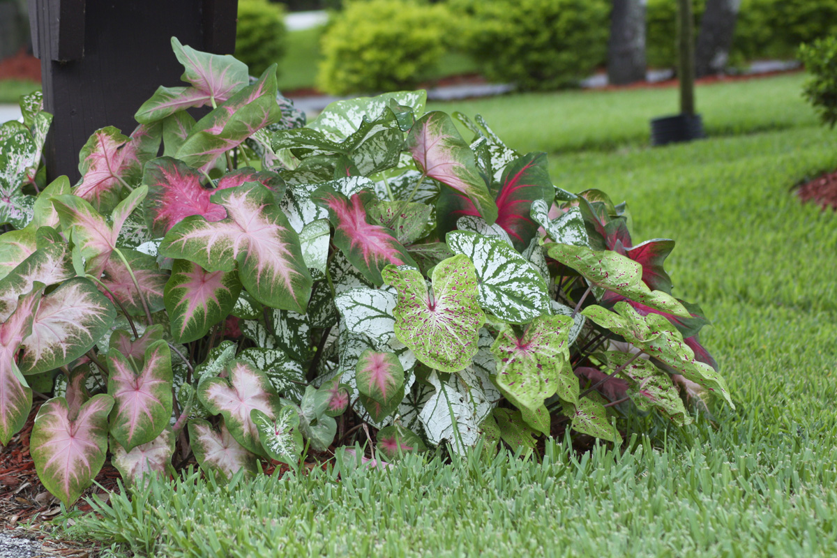 Longfield expert says new caladiums have it for Best plants for flower beds